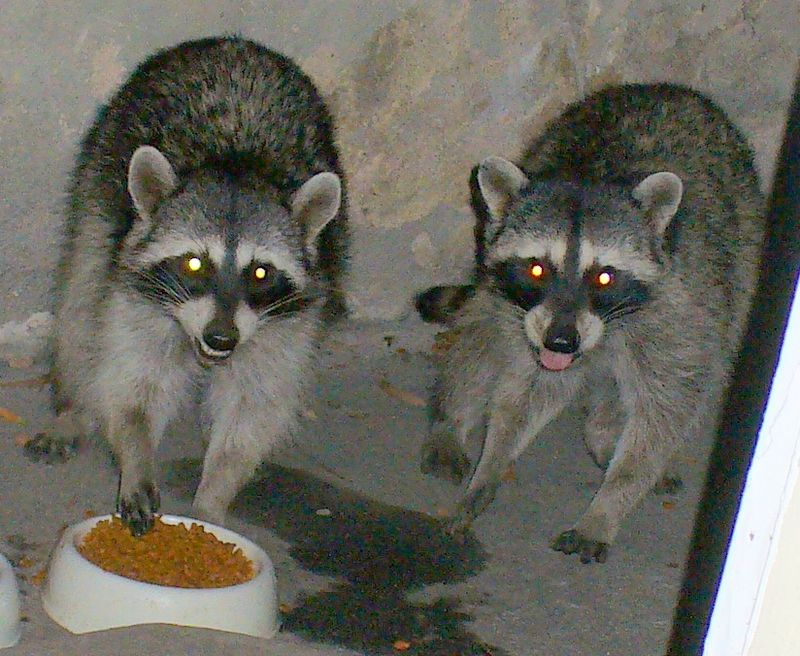 Racoons20090709 196