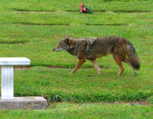 Flhh_coyote1