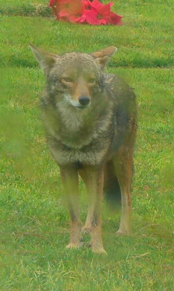 Flhh_coyote2